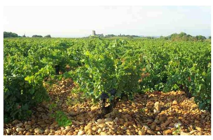 Vignes grenache chateauneuf du pape