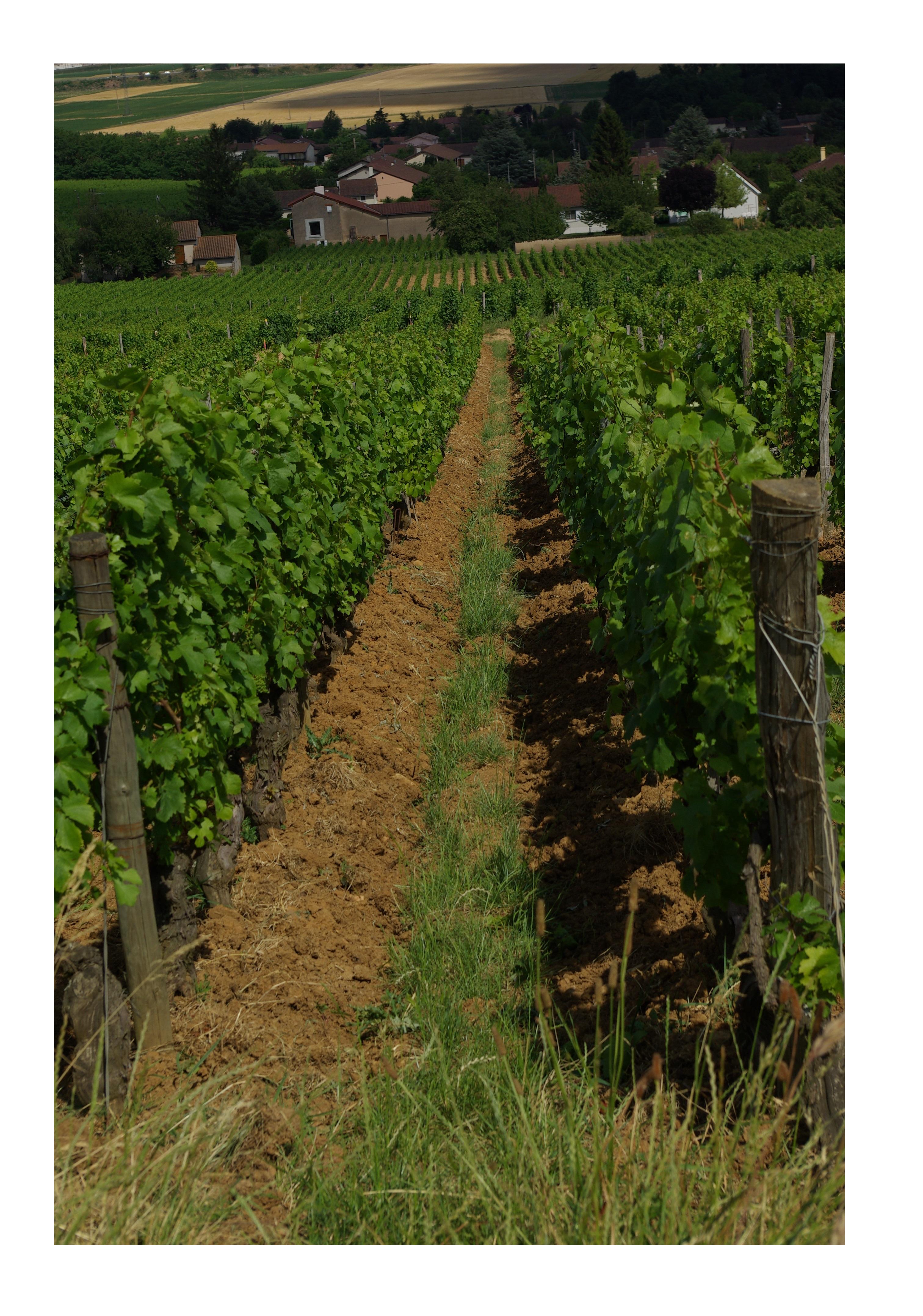 loché mure vigne soufrandiere vin