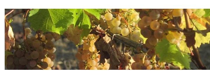 domaine de l'ancienne cure vignes